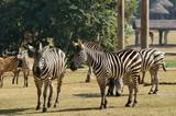 zebras in Chimelong Safari Park
