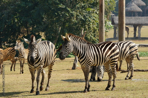 zebras in Chimelong Safari Park