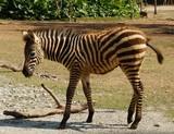 little zebra in zoo