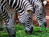Zebras eating Grass  © shakeel