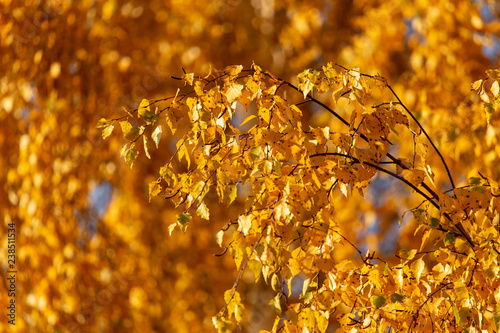 Birches in the forest in autumn as a background - 238511534