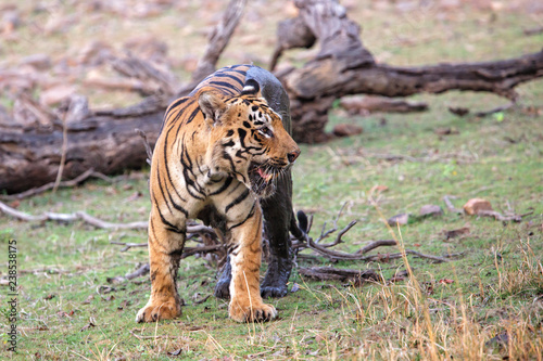 male tiger walking on the borders of Lake Tadoba in in Tadoba National Park in India