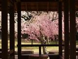 東屋の向こう側に咲くピンクの桜 - 238552750