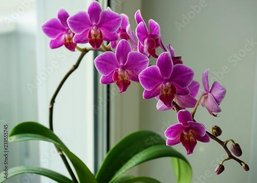 orchid flower on windowsill, closeup - 238555745