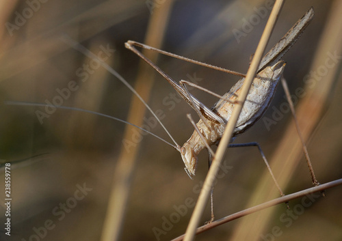 grasshopper stands on a stem of a plant in countryside,  at sunset - 238559778
