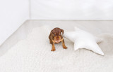 Cute small dachshund puppy on white carpet with star pillow