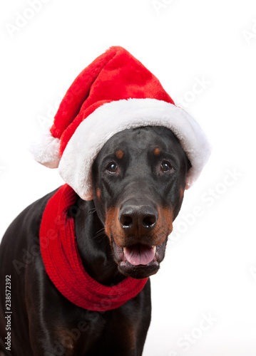 obraz lub plakat dog breed Doberman pincher in cap Santa Claus and red scarf on white background