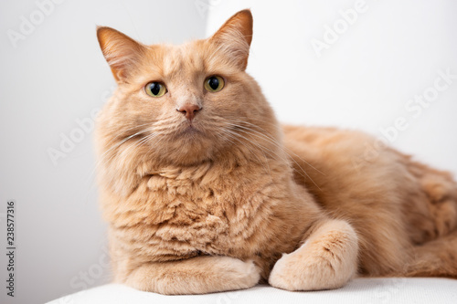 Red cat lying on a sofa with curiously look. - 238577316