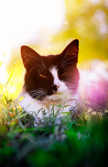 beautiful cat lying in the grass on a flowering meadow bathed in sunlight