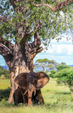 Elephant under tree with afternoon sun and ears flapping open - 238578502