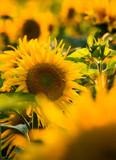 Sonnenblume mit Unschärfe - Detailaufnahme gelb und grün