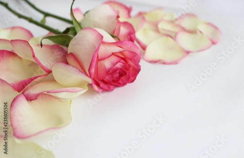 Rose flower and petals of creamy pink rose on white background. Pastel soft colors.
