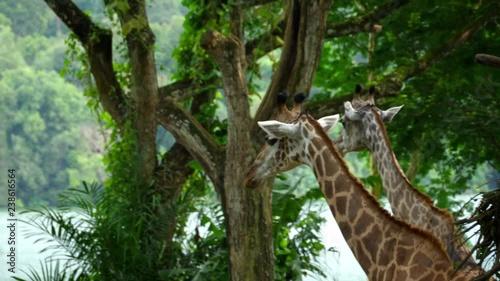 Two Giraffes in savannah
