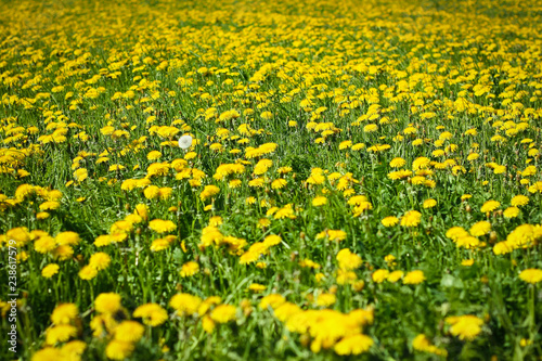 Meadow with dandelions on a sunny day. Dandelions in spring. Flowering dandelions close-up.