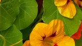 Nasturtium flowers (Tropaeolum) moving in the breeze. Zooms out - 238624392