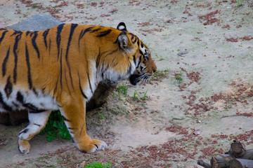 Tiger walking  © Talli