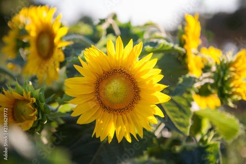 sunflower is big yellow flower