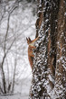 Eurasian red squirrel hanging on a tree in winter park