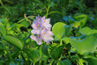 Closeup of Water Hyacinthe in Louisiana Swamp in Early Evening Light