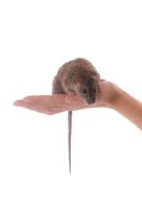 brown domestic rat on palm © Maslov Dmitry