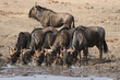 Blue Wildebeests drinking water at a waterhole in Kruger National Park, South Africa