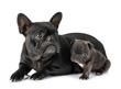 Leinwanddruck Bild - family french bulldog