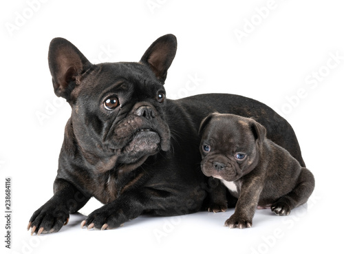 Leinwanddruck Bild family french bulldog