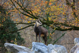 Alpen Gämse (Rupicapra rupicapra)  - 238705712