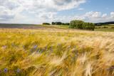 fields of corn in summer