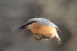 Nuthatch jumped down, falls down, but keeps a seed in its beak ...