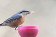 Proud and voracious nuthatch sits on a manger and keeps feed in its beak ...