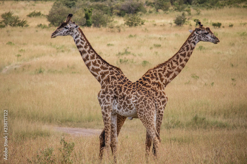 giraffe in serengeti national park tanzania africa