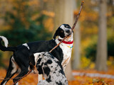 two black and white dogs playing in autumn leafes