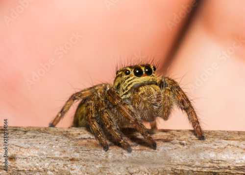 Spider in macro view on leaf, insect in wildlife,beauty in nature - 238734564