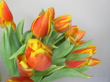 Orange green and yellow tulips. Beautiful tulip bouquet from Holland auction Alsmeer.