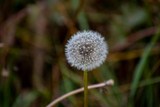 Head of blooming dandelions on a green background in autumn