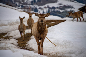 snow deers portrait while looking at you © Andrea Izzotti