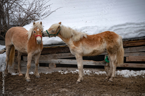snow horses while kisssing