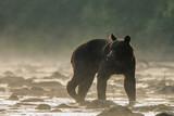 Brown bear in the San river. Bieszczady Mountains. Poland