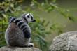 Leinwanddruck Bild - Katta Tierpark Augsburg