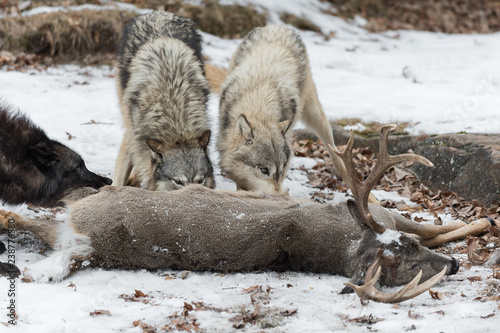 Three Grey Wolves (Canis lupus) Noses Into White-Tail Deer Winter