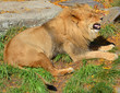 In fall the lion is one of the four big cats in the genus Panthera, and a member of the family Felidae.