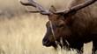 Bull elk grazes in a meadow