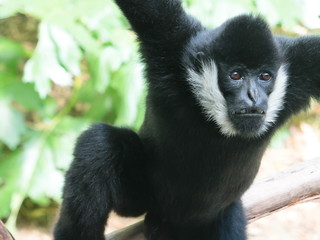Gibbon Hanging from Tree © Michelle