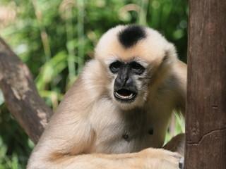 Lar Gibbon Eating © Michelle