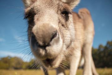 Kangaroo face © Andre