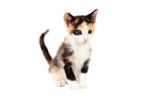 Studio shot of an adorable two months old calico kitten, looking curiously, isolated on white background