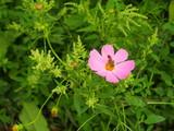 野原に咲くコスモス © smtd3