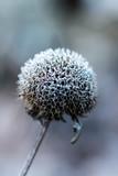 Snowy flower  © Magda