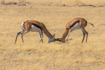 Two male springbok ( Antidorcas Marsupialis) fighting with a ostrich in the back, Etosha National Park, Namibia